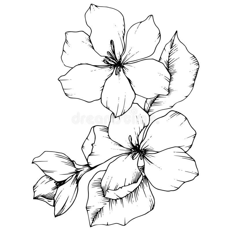 Flor botánica floral del flor de Apple del vector Arte grabado blanco y negro de la tinta Elemento aislado del ejemplo de las flo stock de ilustración