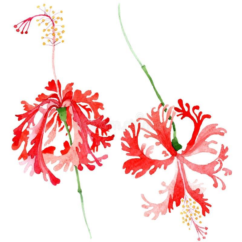 Flor botânica floral do chizopelatus vermelho do hibiscus Jogo do fundo da aguarela Elemento isolado da ilustração do hibiscus ilustração stock