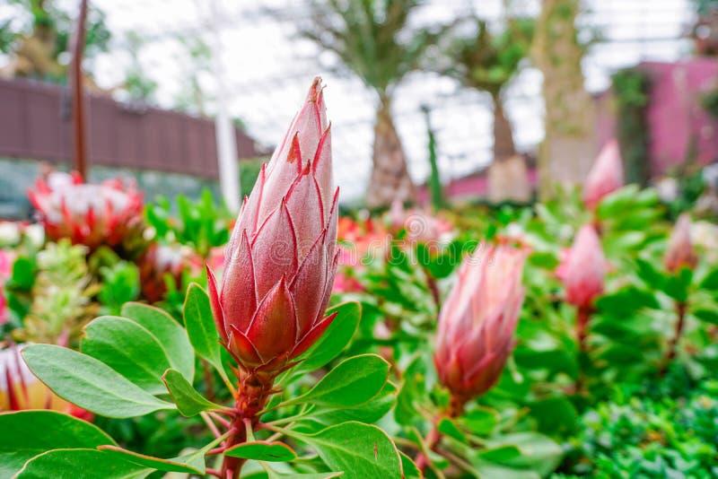 Flor-botão do protea de rei foto de stock