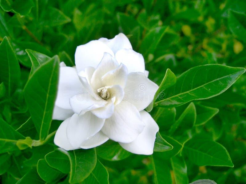 Download Flor branca 2 imagem de stock. Imagem de verde, jarda, flor - 70245