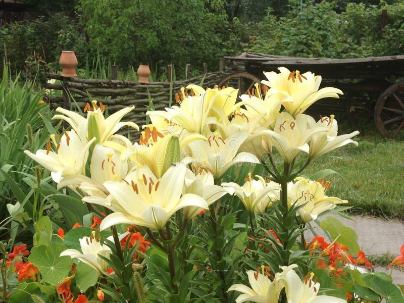 Flor branca imagens de stock