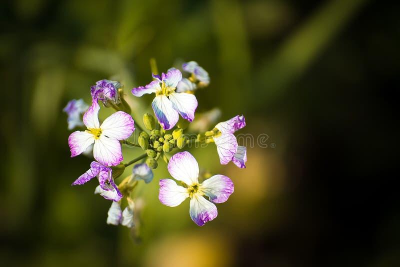 Flor branca azul do rabanete fotos de stock royalty free