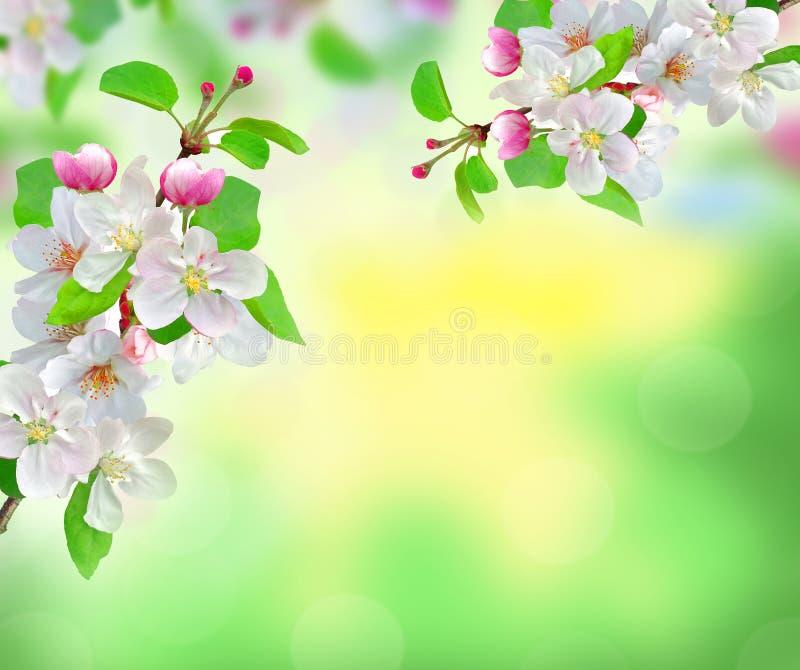 Flor branca bonita da mola no fundo borrado da natureza foto de stock
