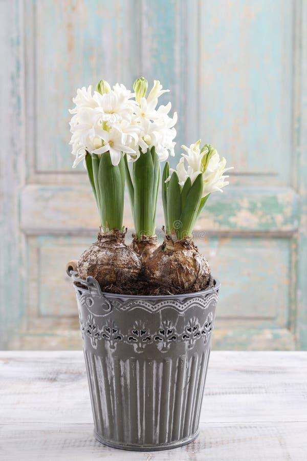 Flor branca bonita do Hyacinth imagens de stock royalty free