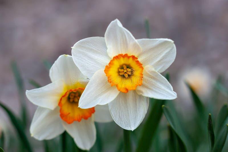 Flor branca bonita do narciso com centro amarelo imagem de stock
