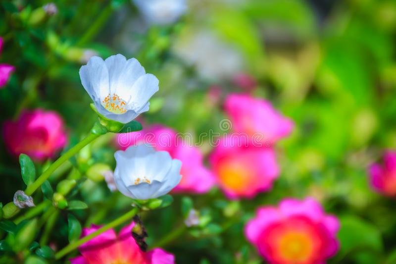 Flor branca bonita do oleracea do portulaca, igualmente conhecida como a terra comum fotos de stock royalty free
