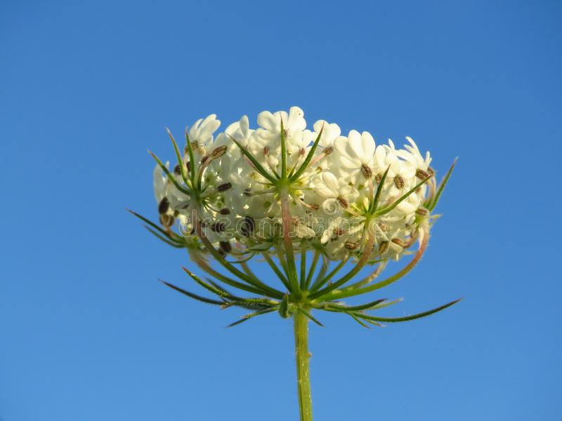 Flor branca bonita do prado contra o céu azul no nascer do sol em julho Apropriado para o fundo floral foto de stock royalty free