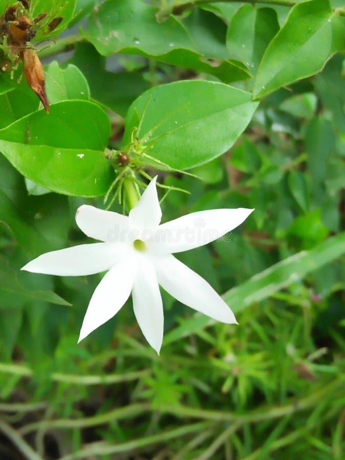 Flor branca bonita em Sri Lanka imagem de stock royalty free