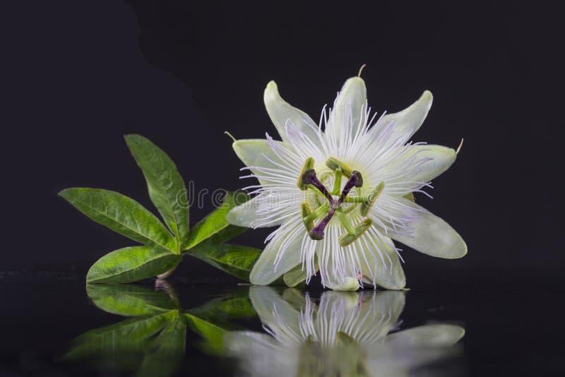 Flor branca bonita exótica do carpelo do Passiflora Foetida no fundo preto fotografia de stock royalty free