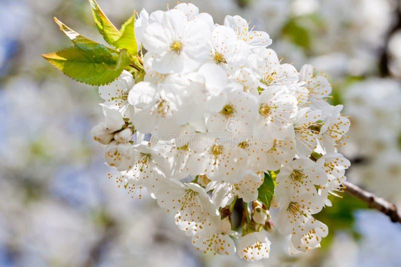 Flor branca bonita na mola exterior fotos de stock royalty free