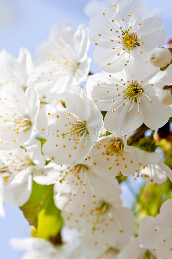 Flor branca bonita na mola exterior imagem de stock royalty free