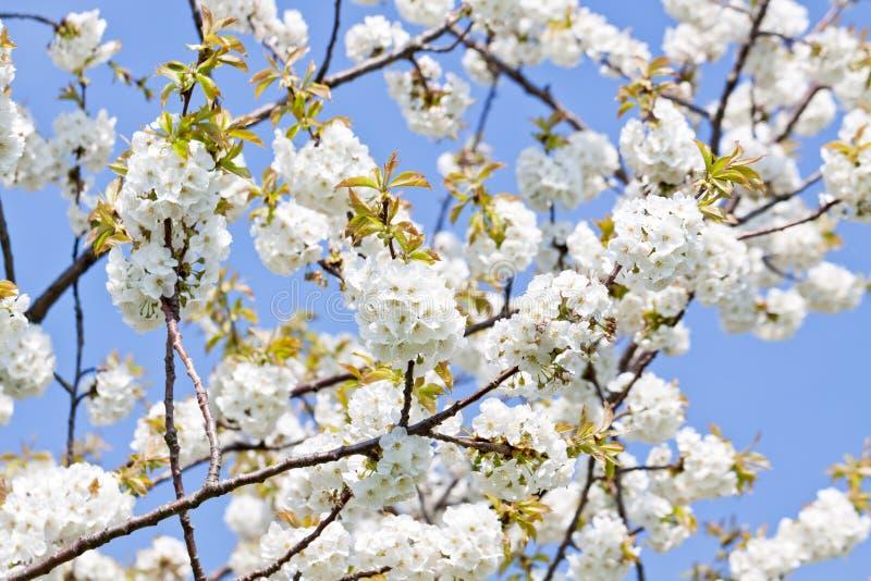 Flor branca bonita na mola exterior imagens de stock