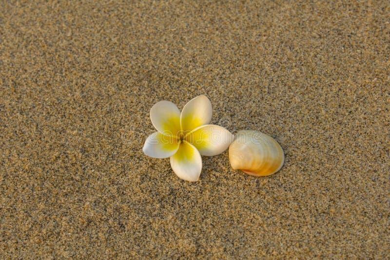 Flor branca brilhante do plumeria do frangipani e mentira bege do escudo na areia amarela borrada textura de superf?cie natural imagem de stock royalty free