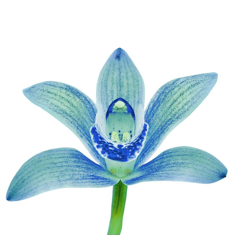 A flor branca ciana azul da orquídea isolou o fundo branco com trajeto de grampeamento Flor em bot?o em uma haste verde imagens de stock