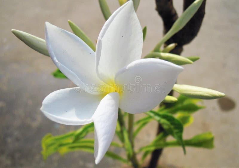 A flor branca com botões fotos de stock royalty free