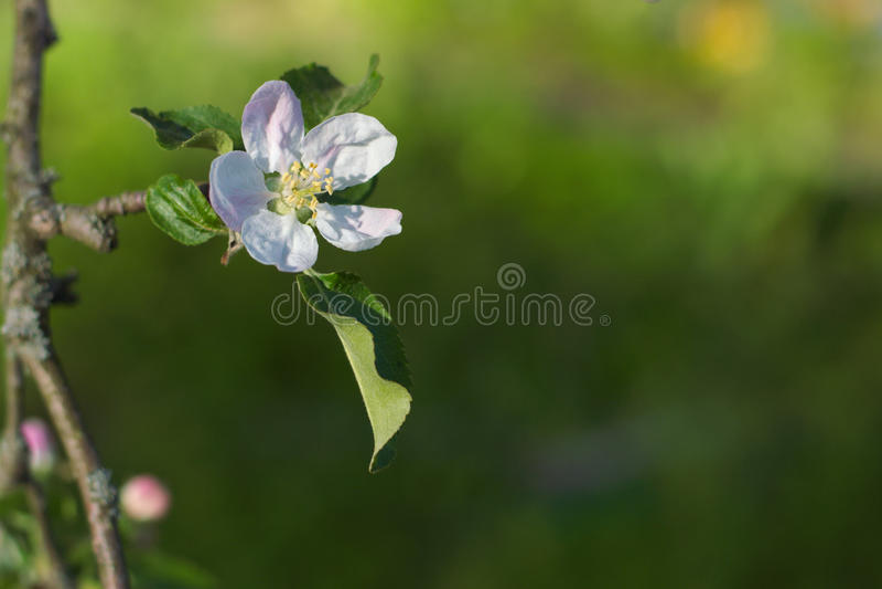 Flor branca da árvore de maçã em um ramo e em um fundo verde fotografia de stock royalty free
