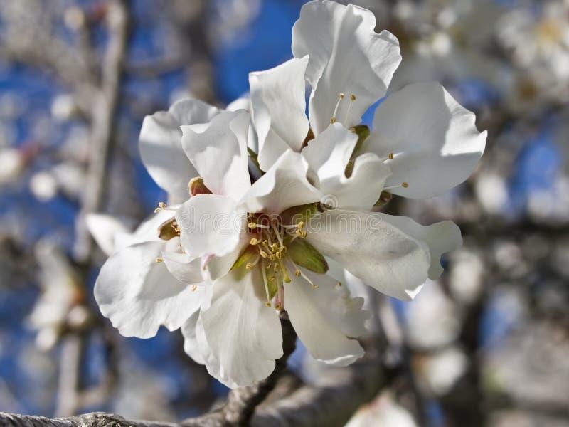 Flor branca da amêndoa imagem de stock