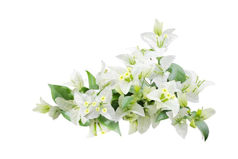 Flor branca da buganvília fotografia de stock royalty free