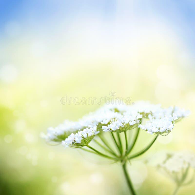 Flor branca da cenoura selvagem no fundo da mola foto de stock