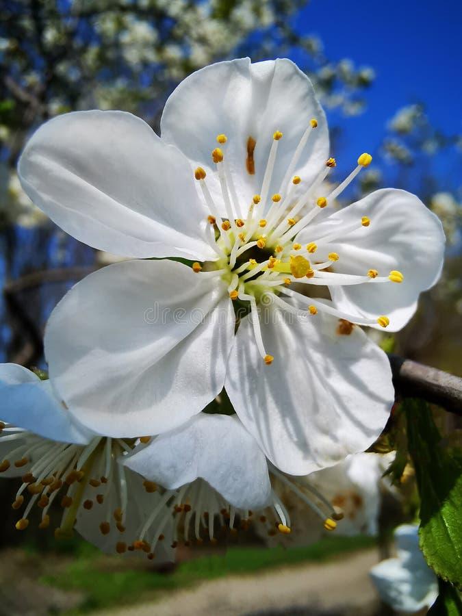 Flor branca da cereja fotografia de stock
