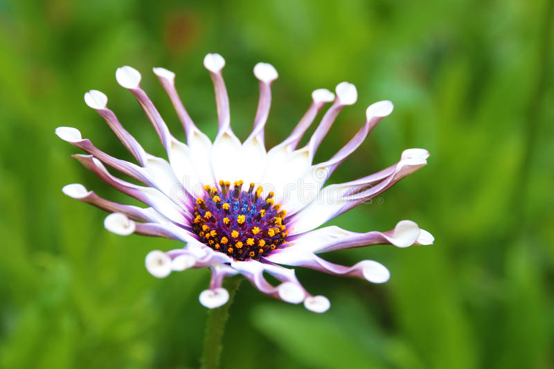 Flor branca da colher de Osteospermum imagens de stock royalty free