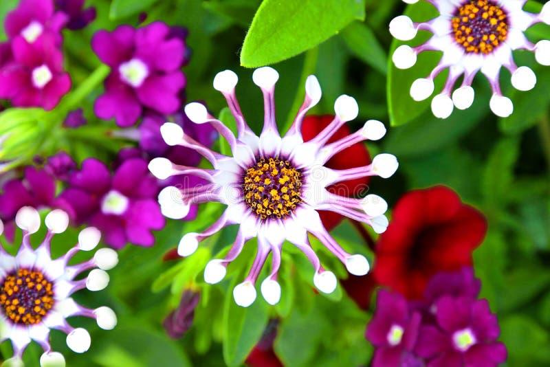 Flor branca da colher de Osteospermum imagens de stock