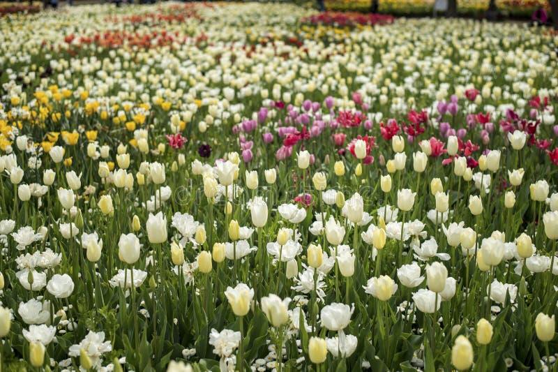 Flor branca da flor da tulipa imagem de stock royalty free