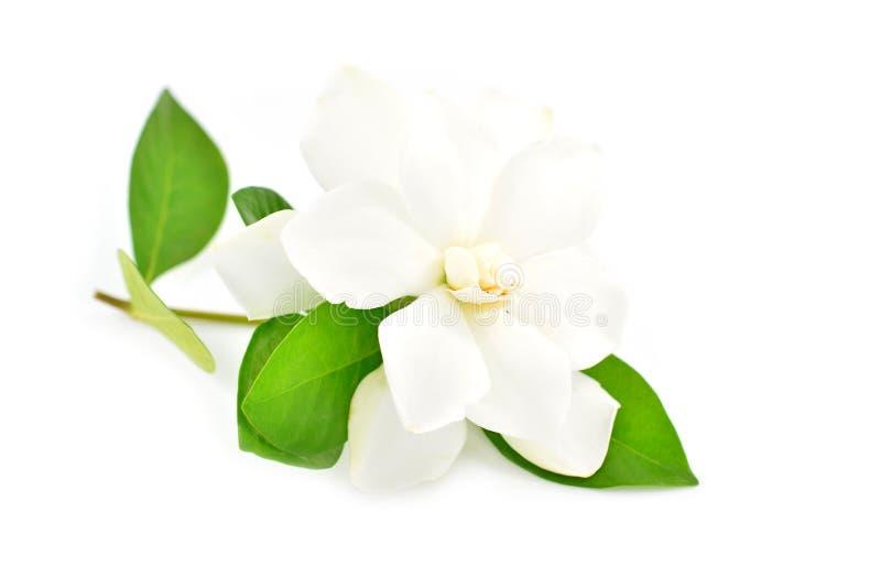 Flor branca da gardênia fotografia de stock