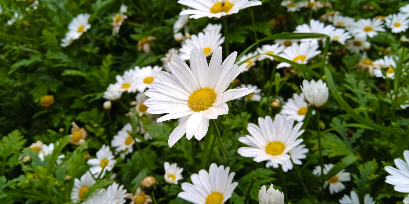flor branca da margarida do Boi-olho nos arbustos verdes fotografia de stock