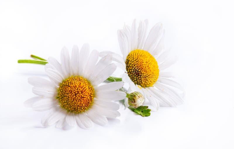 Flor branca da mola das margaridas da arte isolada no fundo branco imagens de stock royalty free