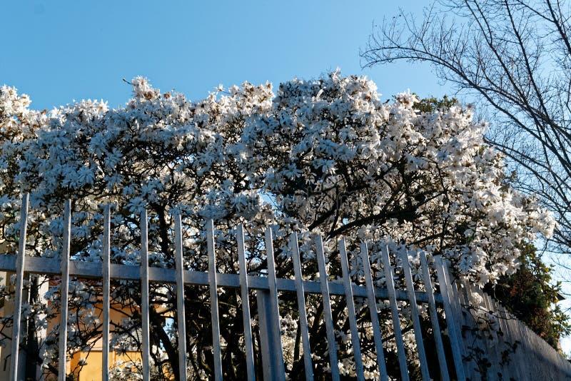 Flor branca da flor na árvore atrás da cerca de aço, tempo da mola fotografia de stock royalty free