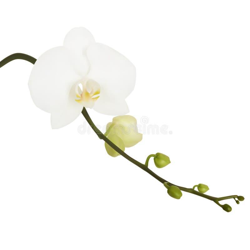 Flor branca da orquídea. ilustração stock