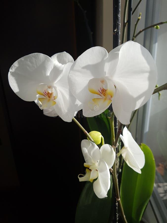 Flor branca da orquídea imagens de stock