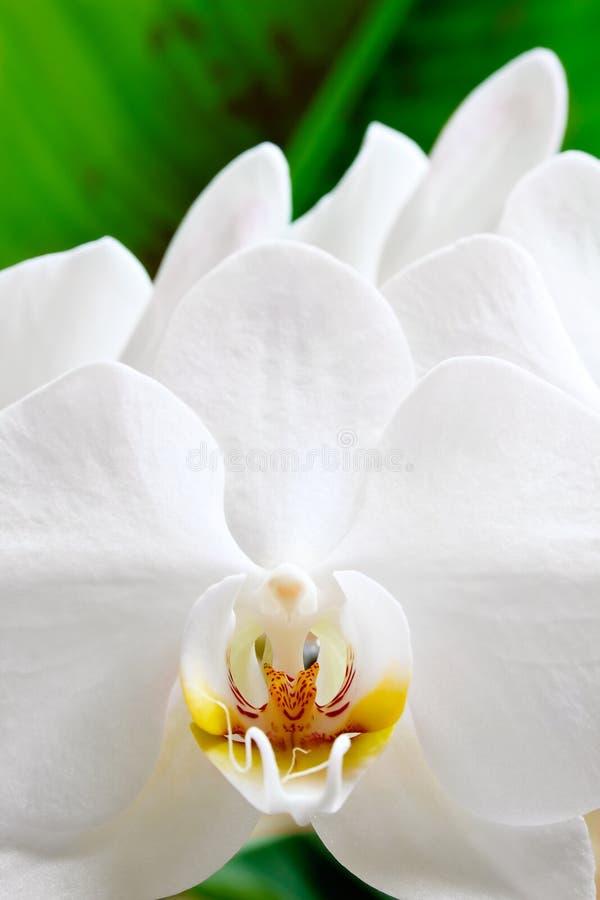 Flor branca da orquídea fotografia de stock royalty free