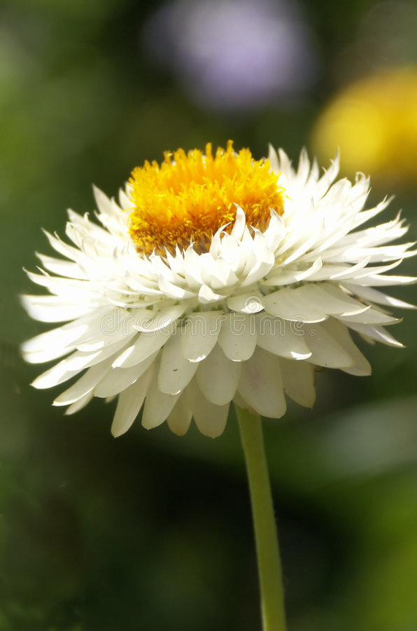 Download Flor branca da palha imagem de stock. Imagem de silky, pólen - 535513