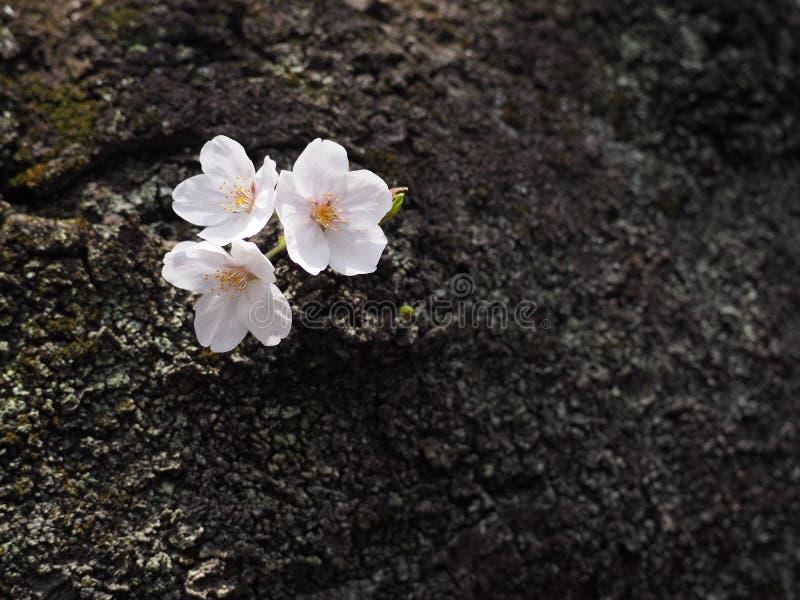 Flor branca das flores de sakura em Japão foto de stock