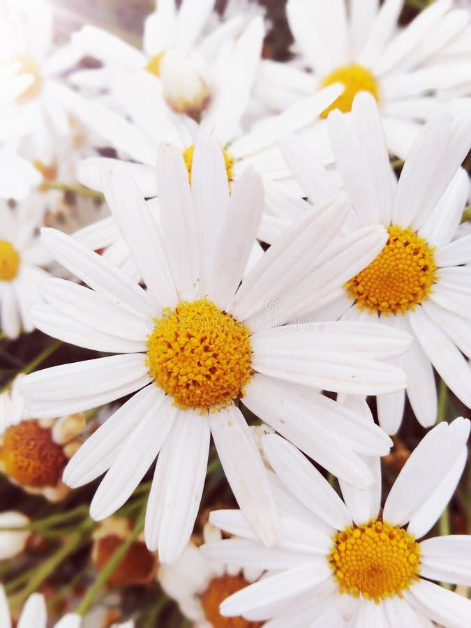 Flor branca de Margaret como uma menina bonita fotografia de stock