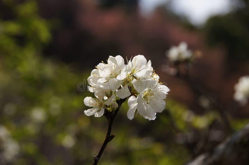 Flor branca de sakura em montanhas de Tailândia fotos de stock