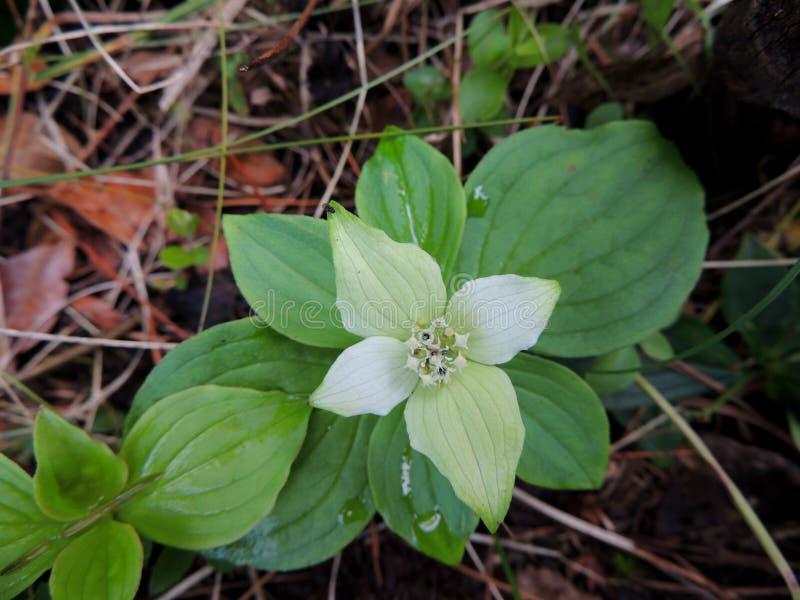 Flor branca delicado no assoalho da floresta fotografia de stock