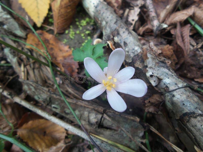 Flor branca do açafrão na floresta do outono foto de stock