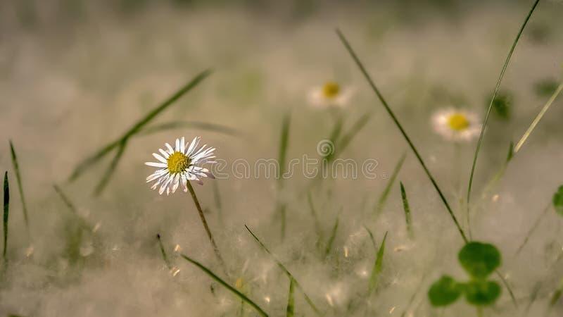 Flor branca do campo com a grama completa do fluff do álamo foto de stock royalty free