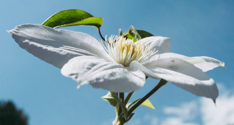 Flor branca do clematis Clematite bonita perfeita da flor fotografia de stock royalty free