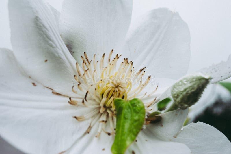 Flor branca do clematis Clematite bonita perfeita da flor imagens de stock