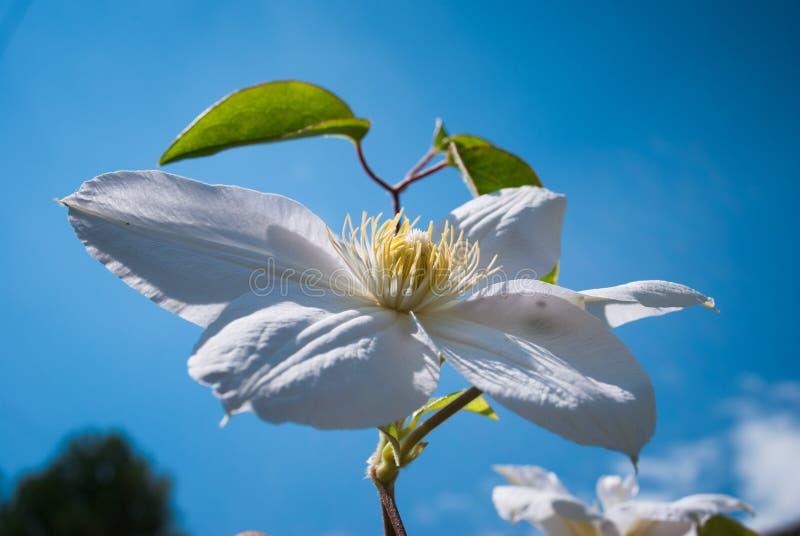 Flor branca do clematis Clematite bonita perfeita da flor imagens de stock royalty free