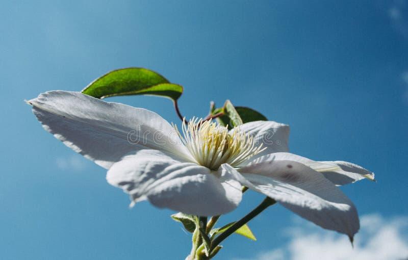 Flor branca do clematis Clematite bonita perfeita da flor fotografia de stock