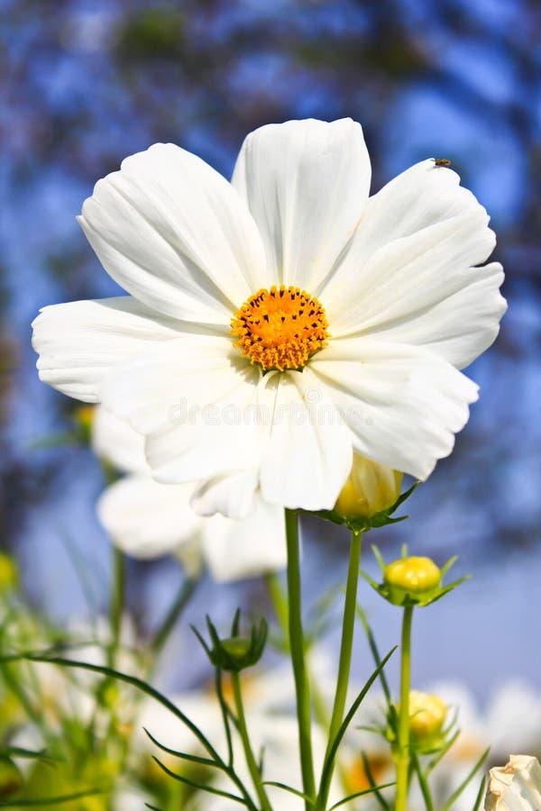 A flor branca do cosmos fotografia de stock royalty free