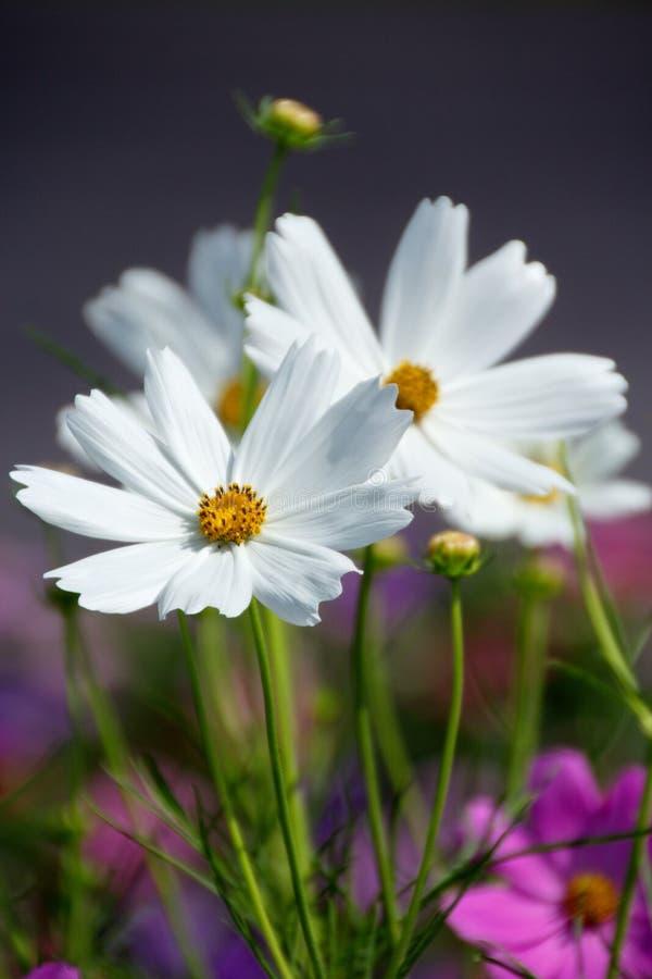 Flor branca do cosmos fotos de stock royalty free