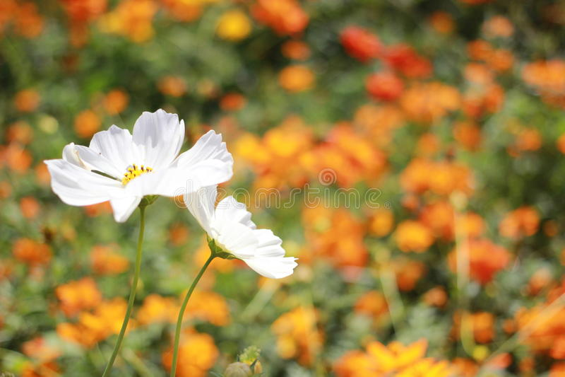 Flor branca do cosmos foto de stock