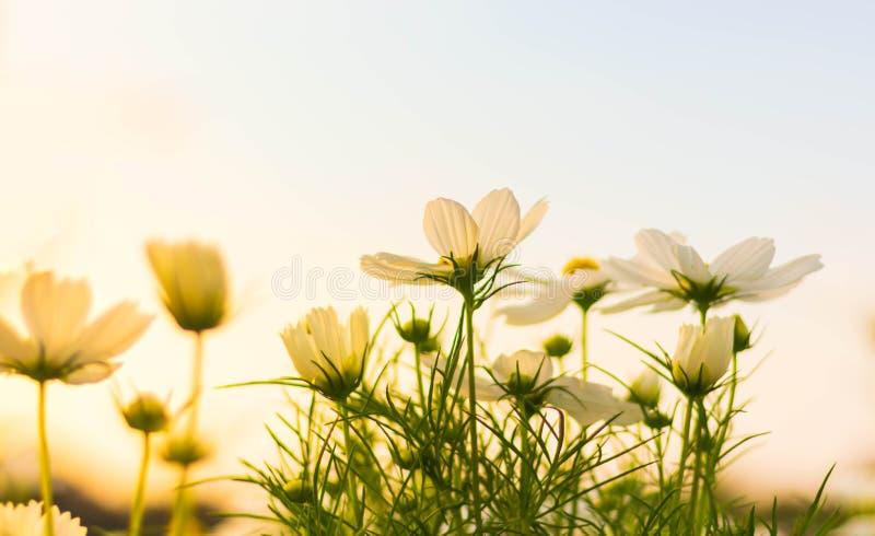 Flor branca do cosmos que floresce belamente fotos de stock