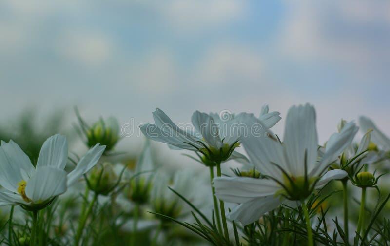 Flor branca do cosmos que floresce belamente para o fundo foto de stock royalty free